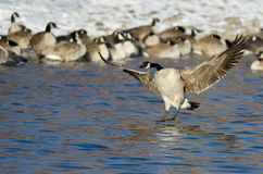 Canada Goose Landing in a Winter River Stock Photography