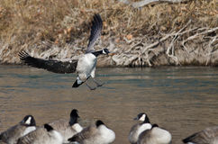 Canada Goose Landing In a Winter River Royalty Free Stock Image