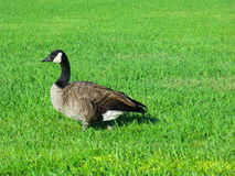 Canada goose. Canada goose is a large wild goose with a black head and neck, white patches on the face, and a brown body Stock Photo