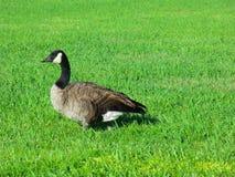 Canada goose. Stock Photo