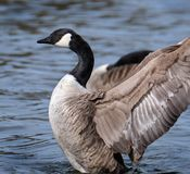 Canada Goose drying wings after washing in lake. The Canada goose is a large wild goose species with a black head and neck, white cheeks, white under its chin stock images