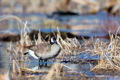 Canada Goose. Stock Image