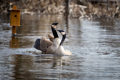 Canada Goose. Royalty Free Stock Photography