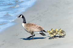Canada goose leading goslings to water across a beach Royalty Free Stock Photo