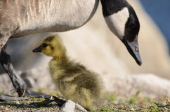 Canada goose with little child Stock Photography