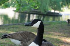 Canada goose looking into the camera next to park lake royalty free stock image