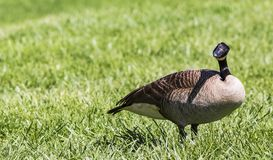 A questioning Canada goose looking. A Canada goose looking at me and wondering what is going on royalty free stock photography