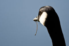 Canada Goose Looking Out Over the Lake With Food Dangling From Its Mouth Royalty Free Stock Photography