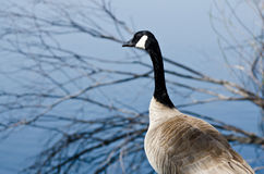 Canada Goose Looking Out Over the Lake Stock Photos