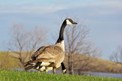 Canada goose looking up for signs of danger royalty free stock photo