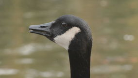 Canada Goose loudly squawking stock video footage