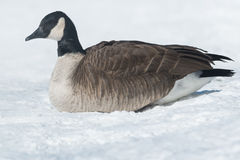 Canada Goose. Lying down in the snow Royalty Free Stock Image