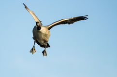 Canada Goose Making Direct Eye Contact While Flying in a Blue Sky Royalty Free Stock Image