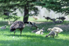 Canada Goose male and nest Stock Photo