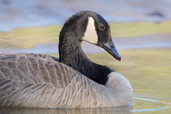 The Canada goose at morning light. Stock Photography
