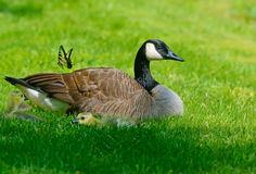 Canada Goose mother, babies, and butterfly Stock Images