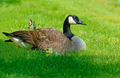 Canada Goose mother, babies, and butterfly Stock Photography