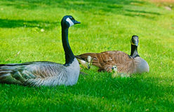 Canada Goose mother, babies, and butterfly Royalty Free Stock Images