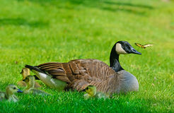 Canada Goose mother, babies, and butterfly Stock Image