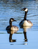 Canada Goose mother and gosling Stock Images