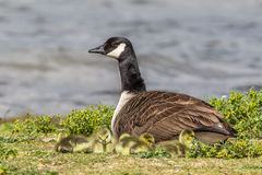 Canada Goose mother and goslings Royalty Free Stock Images