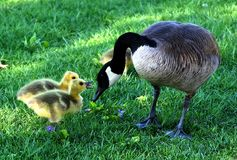 Canada Goose, Mother'S Day, Fluffy Royalty Free Stock Images