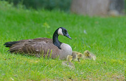 Canada Goose mother sitting with babies. Stock Photos