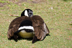 Canada Goose Napping on the Grass Stock Photo