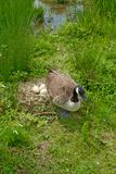 Canada goose near her nest. In a beautiful park in paris Stock Image