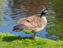 Canada goose near the lake,  looking in the camera Stock Image