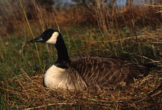Canada Goose on Nest. A female canada goose sitting on a ground nest Royalty Free Stock Photos