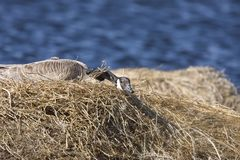 Canada Goose in Nest Stock Photo