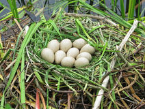 Canada Goose Nest with Eggs Stock Image
