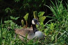 Canada Goose on nest. Royalty Free Stock Photos
