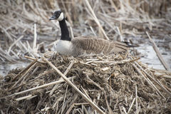 Canada goose on nest in marsh, early spring, Massachusetts. Canada goose sitting on a nest with eggs, body in profile, with her head straight forward, in a Royalty Free Stock Photography