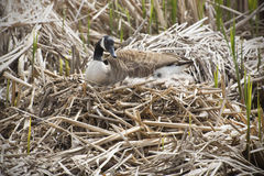 Canada goose on nest in marsh, early spring, Massachusetts. Canada goose sitting on a nest with eggs, body in profile, with her head turned, in a marsh at Great Royalty Free Stock Photo