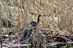 Canada Goose and nest in marshland. Stock Photo