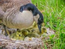 Canada Goose Nest Stock Photo