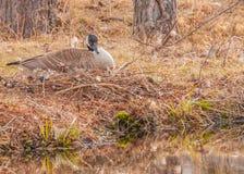 Canada Goose Nest Stock Photography