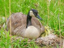 Canada Goose Nest Stock Image