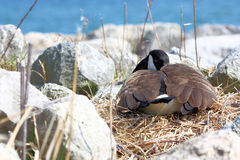 Canada Goose Nesting. Canada Goose sits on its nest on the shore of Lake Ontario in Oakville Stock Image