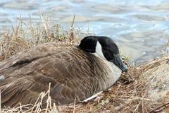 Canada goose nesting Royalty Free Stock Image