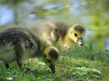 Canada goose with offspring royalty free stock photos