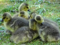 Canada goose with offspring. In the city garden, Neuss stock images