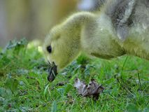 Canada goose with offspring. In the city garden, Neuss royalty free stock photography