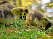 Canada goose with offspring. In the city garden, Neuss royalty free stock image