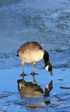 Canada Goose On Ice Stock Image