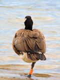 Canada goose on one leg. A Canada Goose standing on one leg looking out over Lake Ontario Stock Photos
