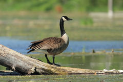 Canada Goose - Ontario, Canada Royalty Free Stock Photo
