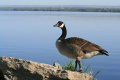 Canada Goose on Ottawa River Royalty Free Stock Photos